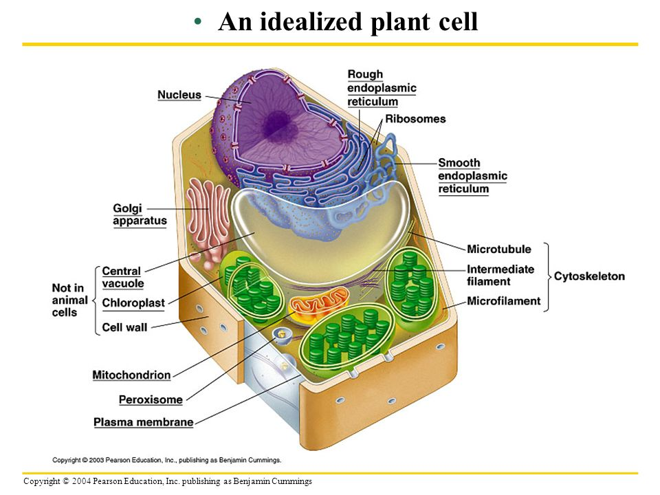 Ribosomes plant cell