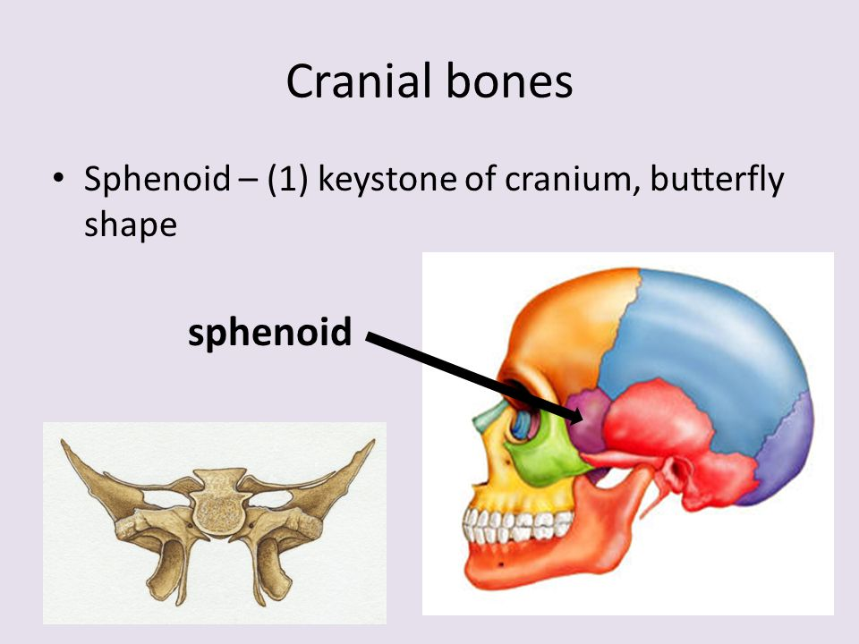 bones of the skeleton. 2 divisions: 28. axial skeleton a. purpose, Human Body