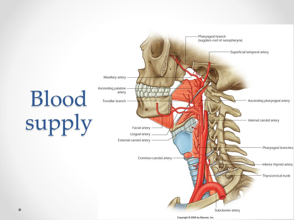 The pharynx. Anatomy of The pharynx Site Midline of the neck From ...