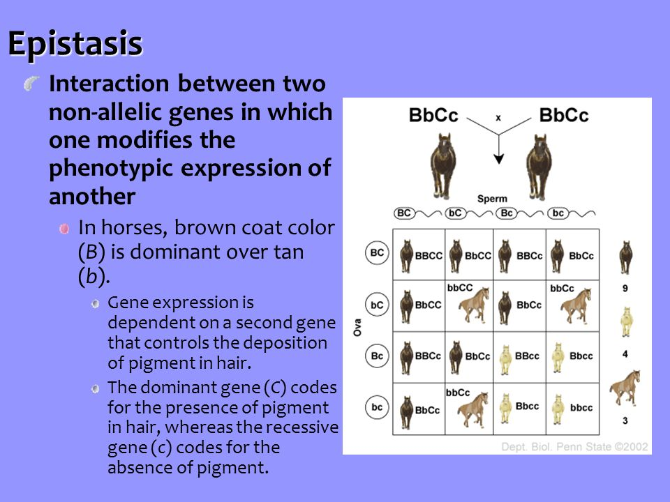 Interaction between two non-allelic genes in which one modifies the phenotypic expression of another In horses, brown coat color (B) is dominant over tan (b).