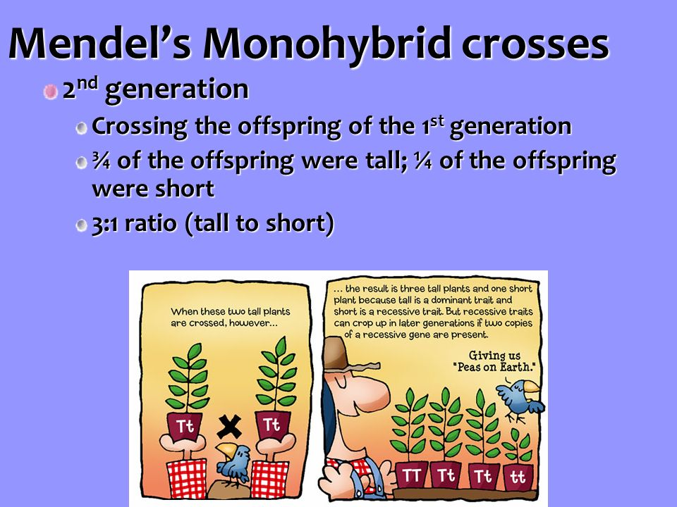 Mendel's Monohybrid crosses 2 nd generation Crossing the offspring of the 1 st generation ¾ of the offspring were tall; ¼ of the offspring were short 3:1 ratio (tall to short)