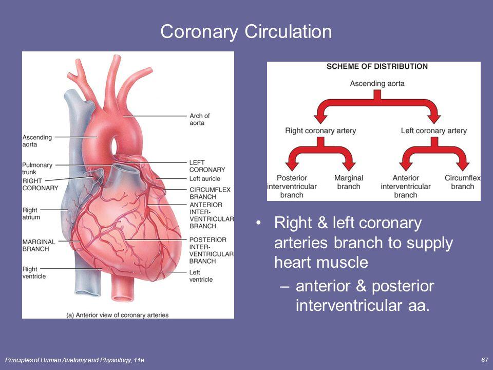 Berühmt Coronary Artery Anatomy And Physiology Fotos - Menschliche ...