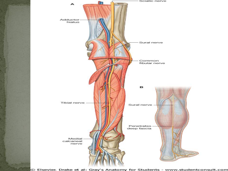 Dr Sreekanth Thota Department Of Anatomy Lower Limb Leg Ppt Download