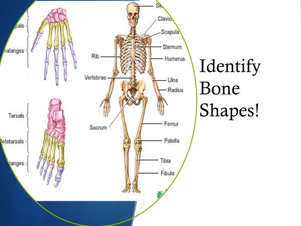 the skeletal system. bone classification  long bones: arms, Wiring diagram