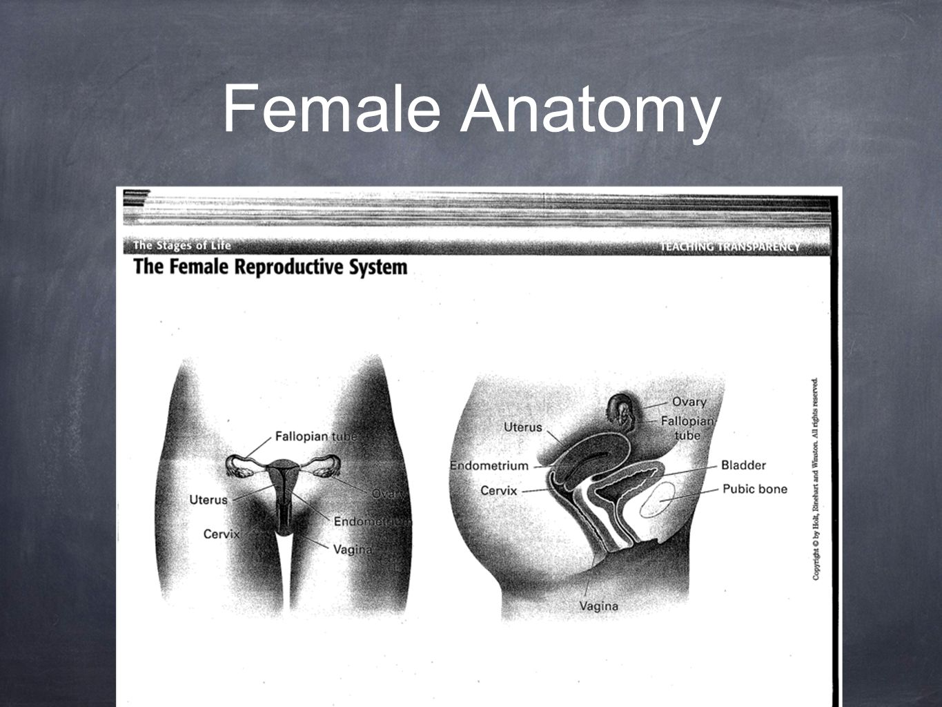 FEMALE REPRODUCTIVE SYSTEM Anatomy and Physiology. - ppt download