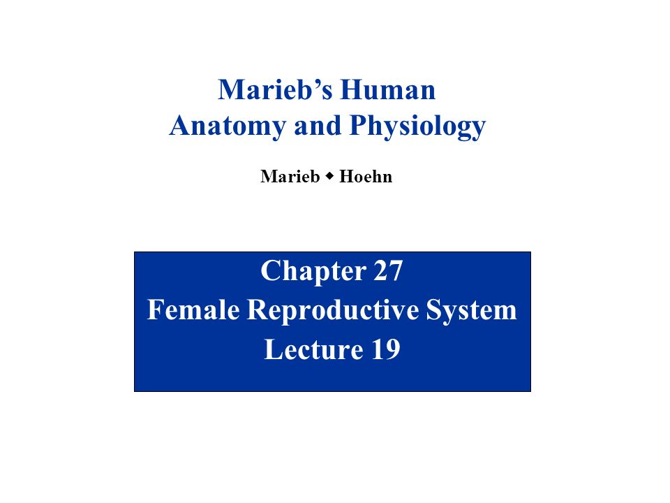 Chapter 27 Female Reproductive System Lecture 19 Marieb\'s Human ...