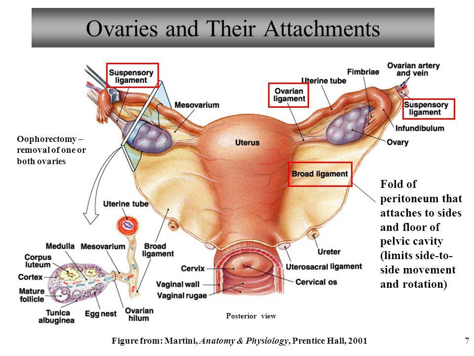 Human anatomy woman ovaries - animalcarecollege.info