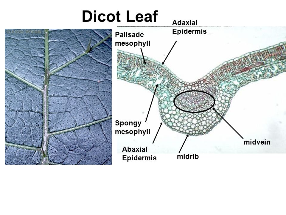 Dicot Leaf Spongy mesophyll Adaxial Epidermis Palisade mesophyll midvein midrib Abaxial Epidermis