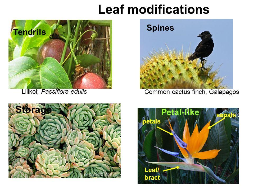 Lilikoi; Passiflora edulis Tendrils Leaf modifications Spines Storage Common cactus finch, Galapagos sepals petals Leaf/ bract Petal-like