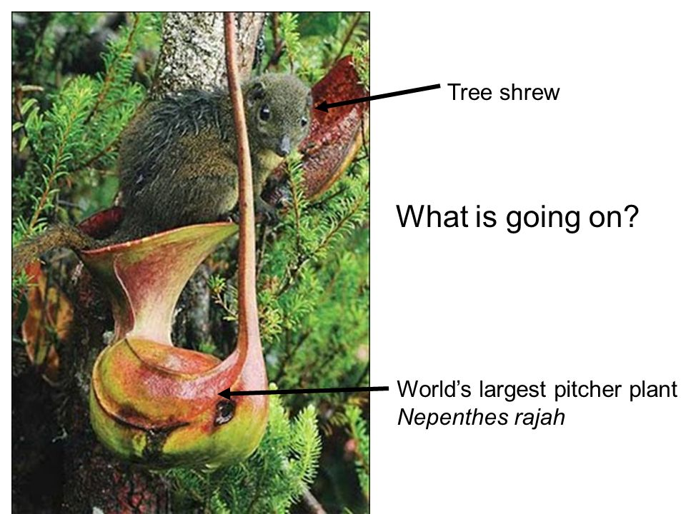 World's largest pitcher plant Nepenthes rajah Tree shrew What is going on