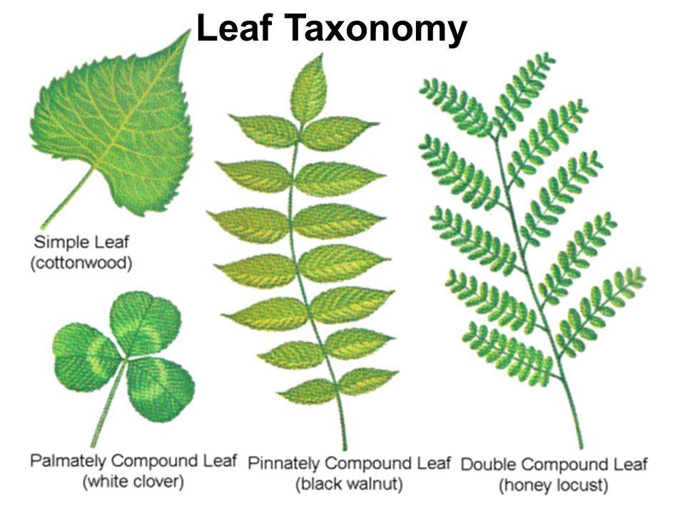 Leaf Taxonomy