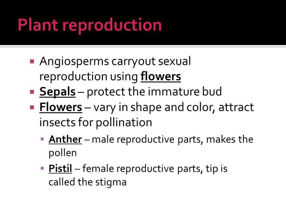  Angiosperms carryout sexual reproduction using flowers  Sepals – protect the immature bud  Flowers – vary in shape and color, attract insects for pollination  Anther – male reproductive parts, makes the pollen  Pistil – female reproductive parts, tip is called the stigma