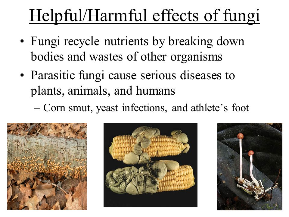Helpful/Harmful effects of fungi Fungi recycle nutrients by breaking down bodies and wastes of other organisms Parasitic fungi cause serious diseases to plants, animals, and humans –Corn smut, yeast infections, and athlete's foot