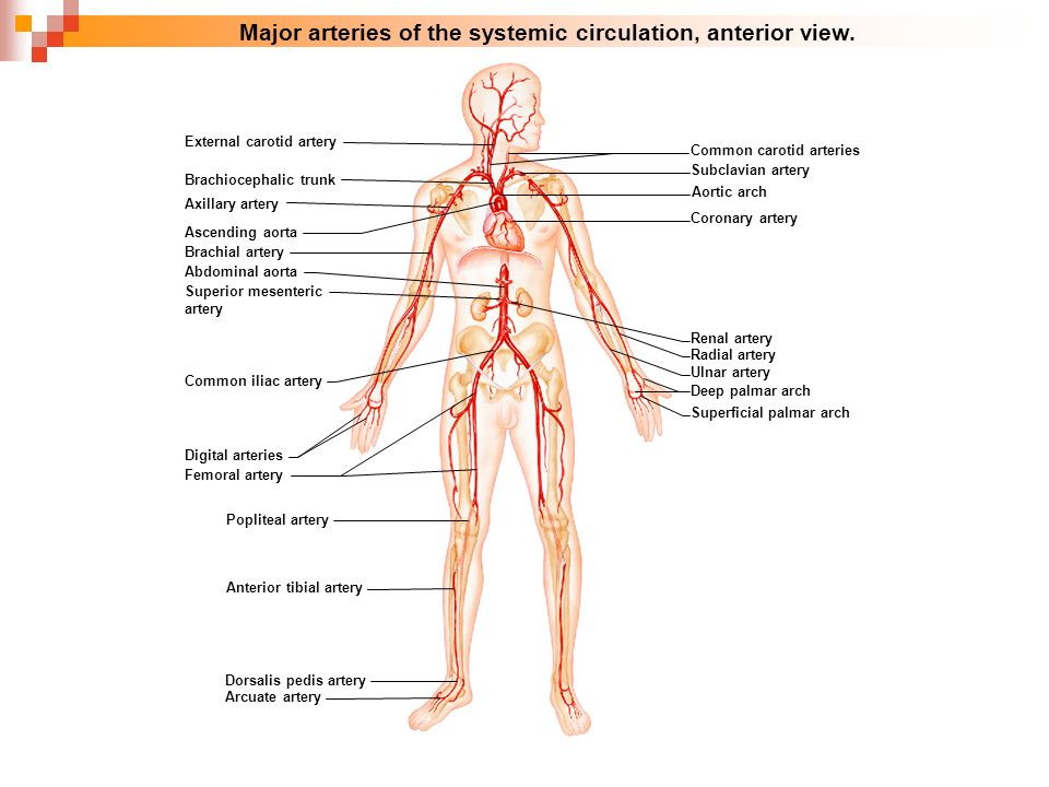 Cardiovascular blood vessels respiratory system diagrams for 4 major ccuart Images