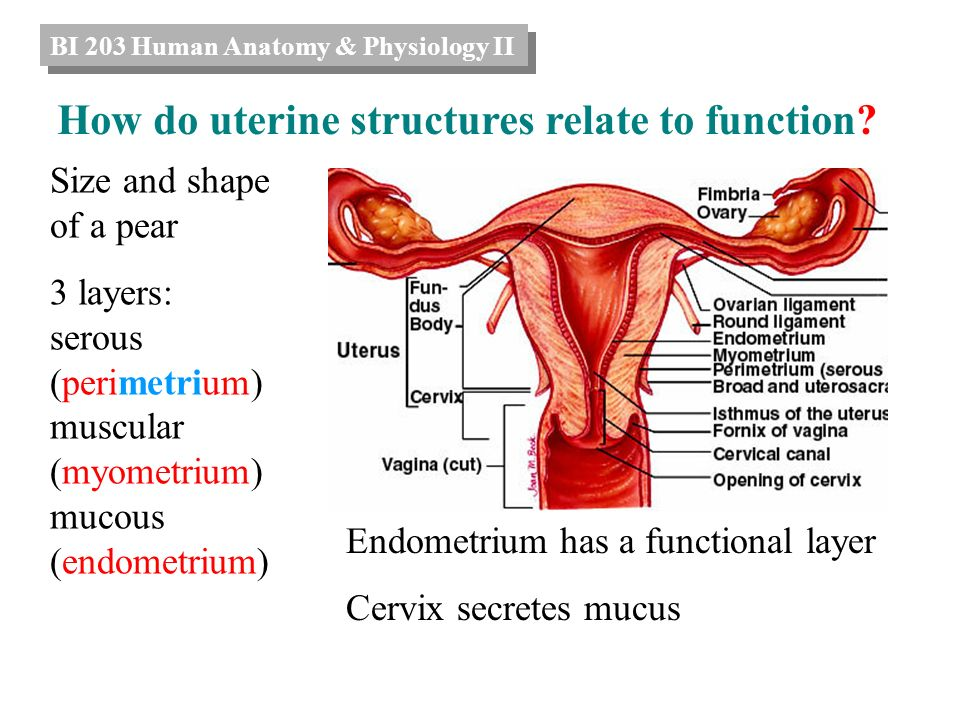 Dorable Uterus Function Collection - Anatomy And Physiology Biology ...