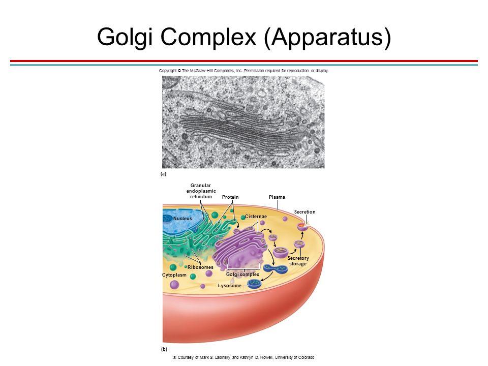 Golgi Complex (Apparatus) Copyright © The McGraw-Hill Companies, Inc.