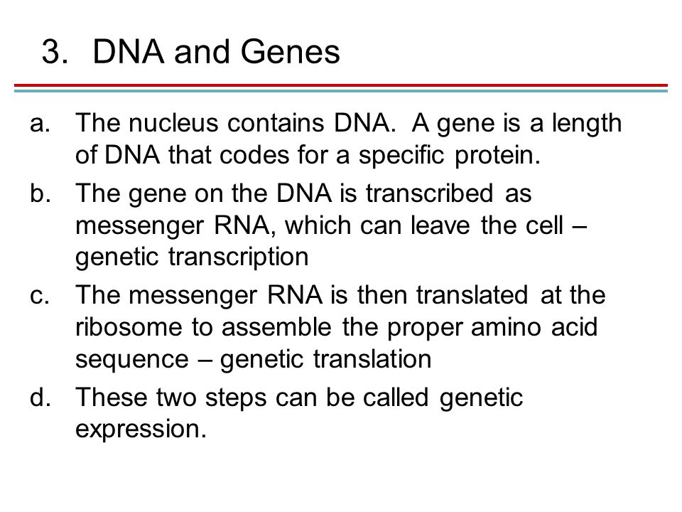 3.DNA and Genes a.The nucleus contains DNA.