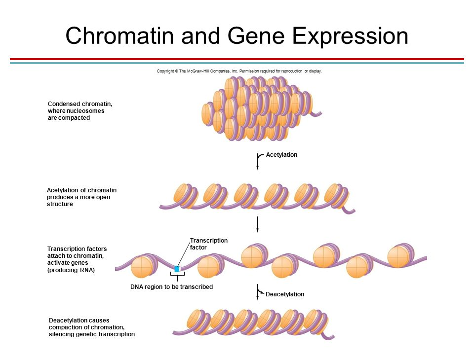 Chromatin and Gene Expression Copyright © The McGraw-Hill Companies, Inc.