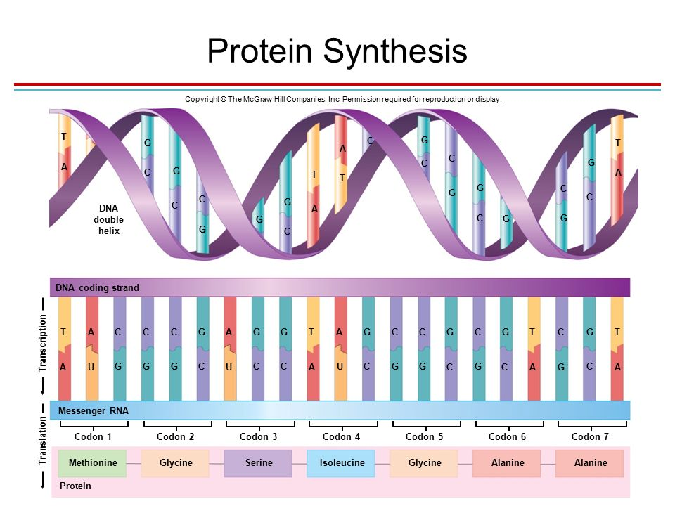 Protein Synthesis Copyright © The McGraw-Hill Companies, Inc.
