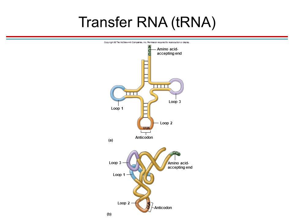 Transfer RNA (tRNA) Copyright © The McGraw-Hill Companies, Inc.