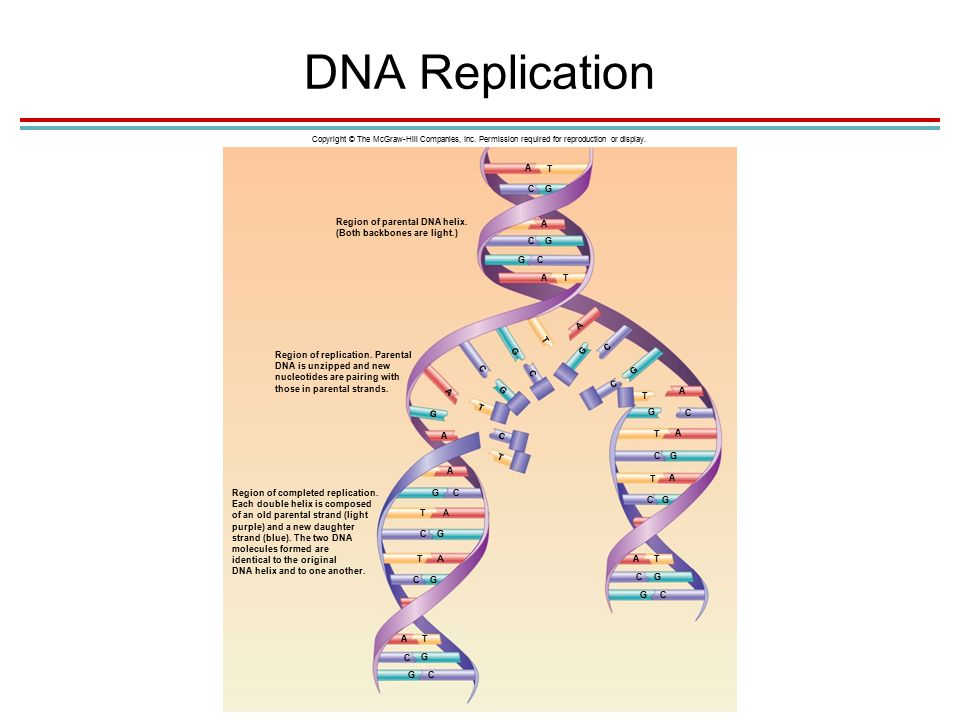 DNA Replication Copyright © The McGraw-Hill Companies, Inc.
