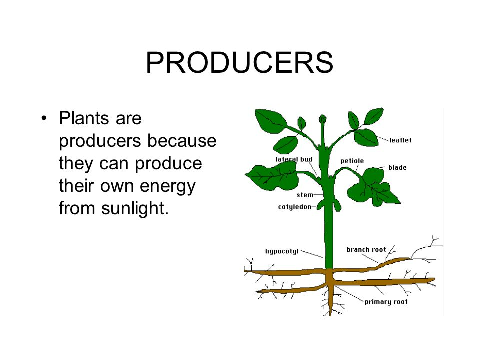 PRODUCERS Plants are producers because they can produce their own energy from sunlight.