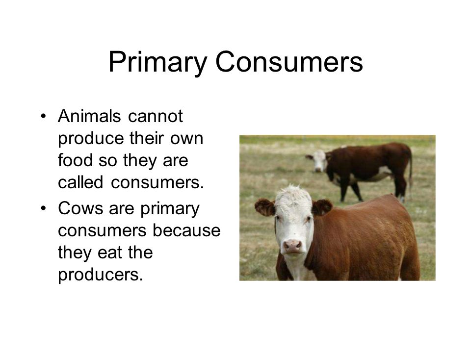 Primary Consumers Animals cannot produce their own food so they are called consumers.