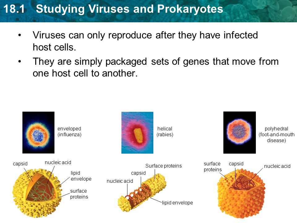 18.1 Studying Viruses and Prokaryotes Viruses can only reproduce after they have infected host cells.
