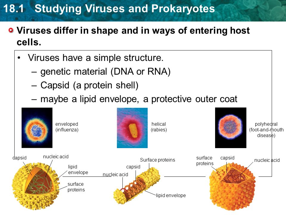 18.1 Studying Viruses and Prokaryotes Viruses differ in shape and in ways of entering host cells.