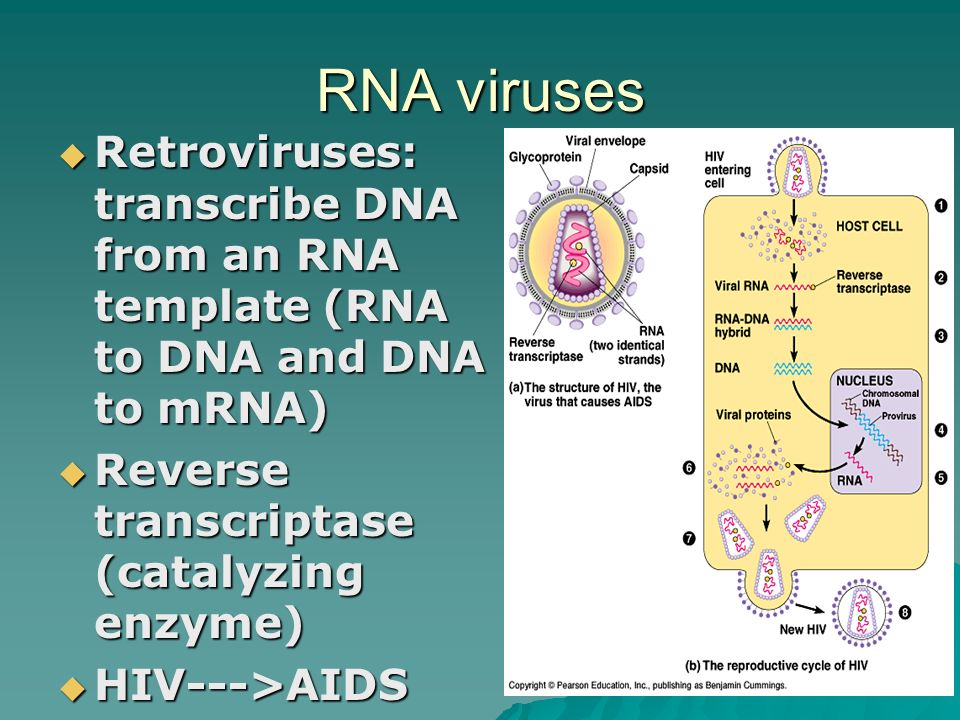 RNA viruses  Retroviruses: transcribe DNA from an RNA template (RNA to DNA and DNA to mRNA)  Reverse transcriptase (catalyzing enzyme)  HIV--->AIDS