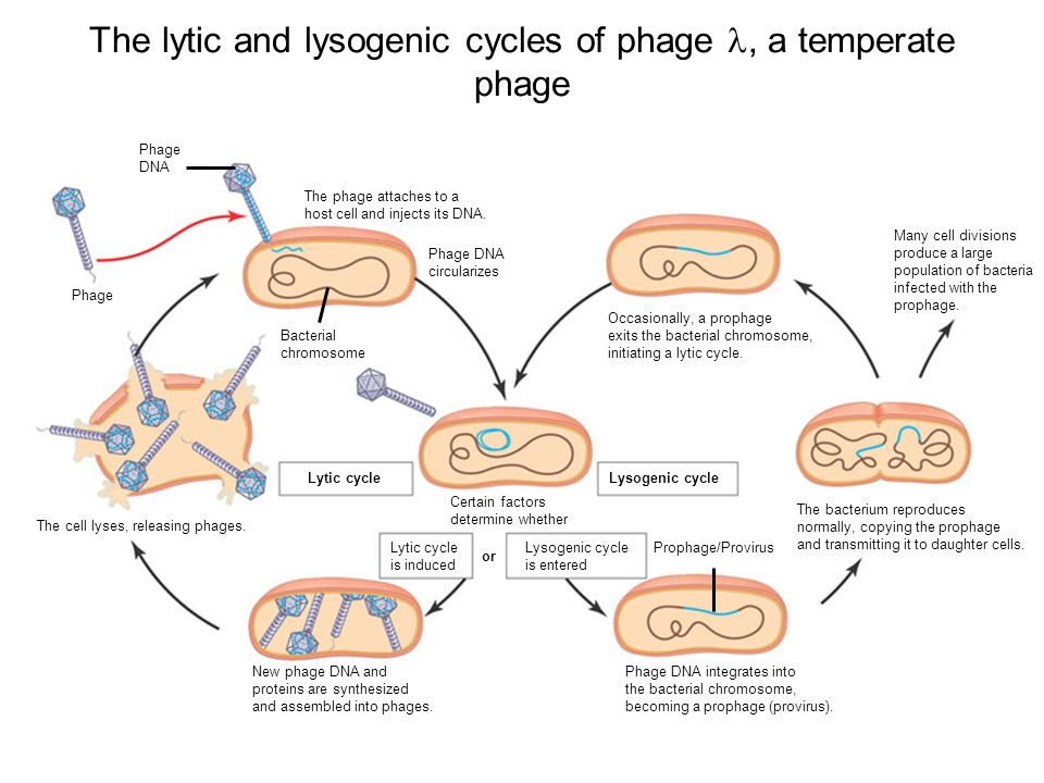 The lytic and lysogenic cycles of phage, a temperate phage Many cell divisions produce a large population of bacteria infected with the prophage.