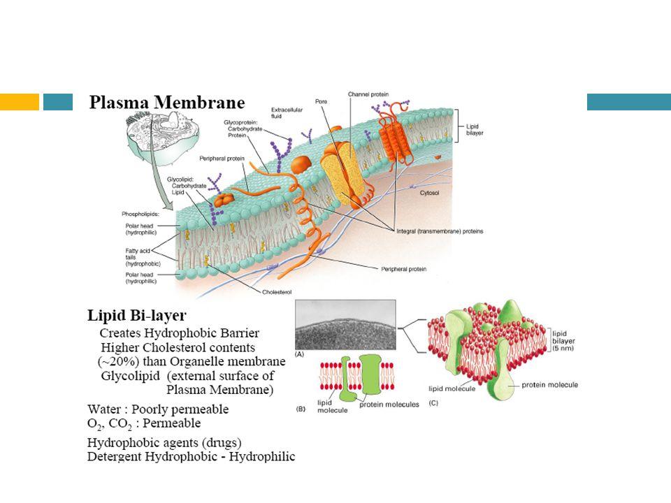 Membran sel dan transport agustina setiawati m apt ppt download 4 fluid mosaic membrane text pg 80 ccuart Choice Image