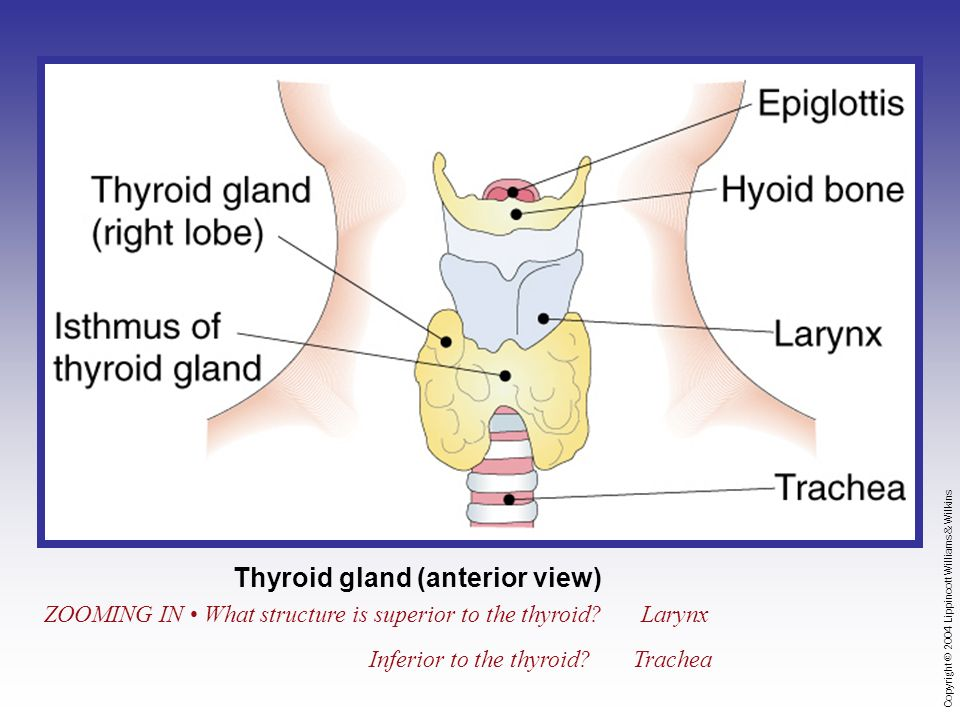 Copyright © 2004 Lippincott Williams & Wilkins Thyroid gland (anterior view) ZOOMING IN What structure is superior to the thyroid Larynx Inferior to the thyroid Trachea