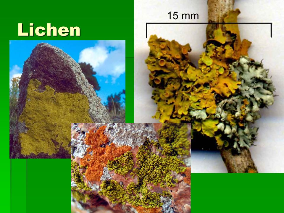 Lichen  Symbiosis between the Protist Algae and hyphae of a Fungi  The hyphae forms a sandwich around the algae, which produce sugar and other nutrients for the fungus