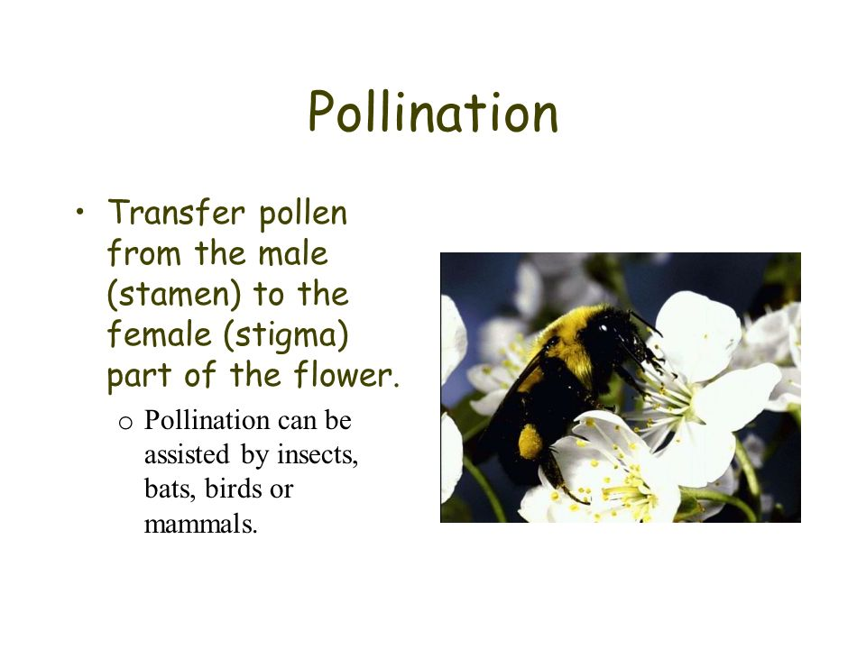 Pollination Transfer pollen from the male (stamen) to the female (stigma) part of the flower.
