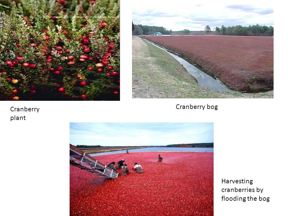 Cranberry plant Cranberry bog Harvesting cranberries by flooding the bog
