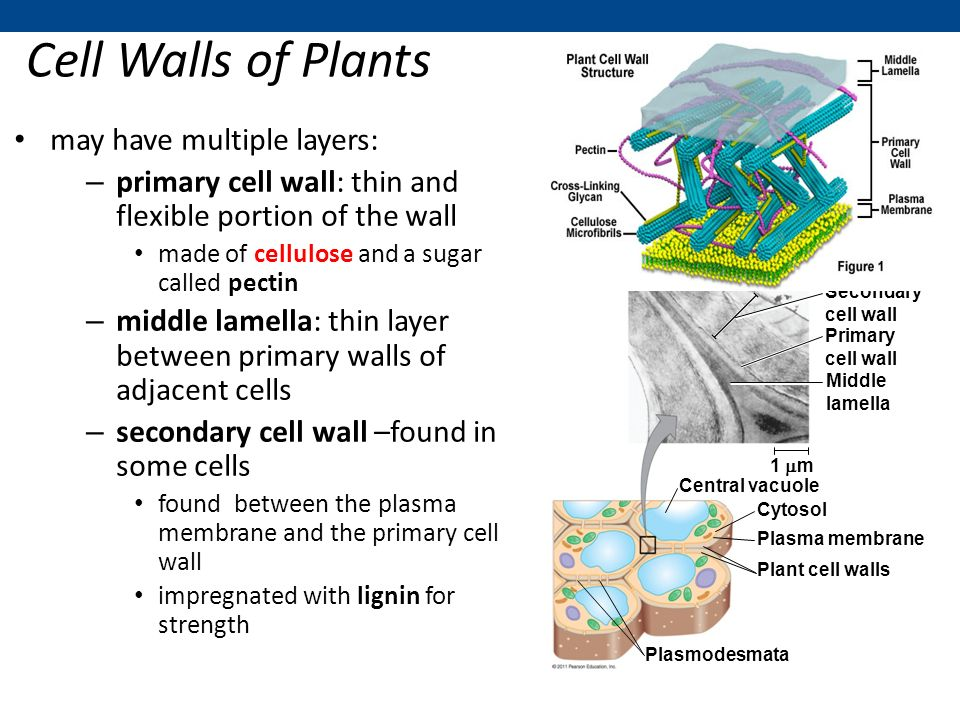 an overview of plant cell wall and plasmodesmata