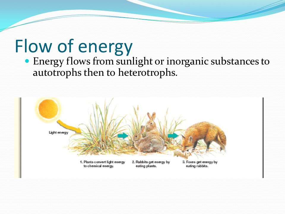 Flow of energy Energy flows from sunlight or inorganic substances to autotrophs then to heterotrophs.