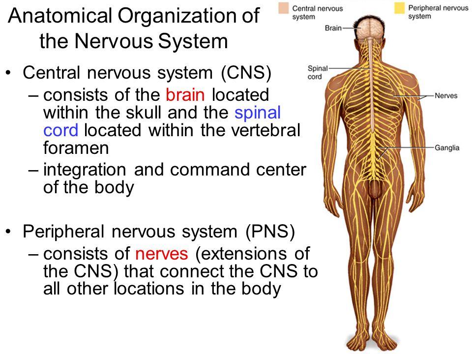 Anatomical Organization Of The Nervous System Central Nervous System