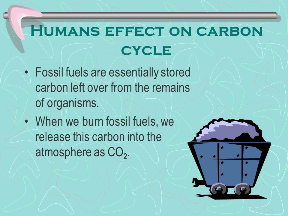 Humans effect on carbon cycle Fossil fuels are essentially stored carbon left over from the remains of organisms.