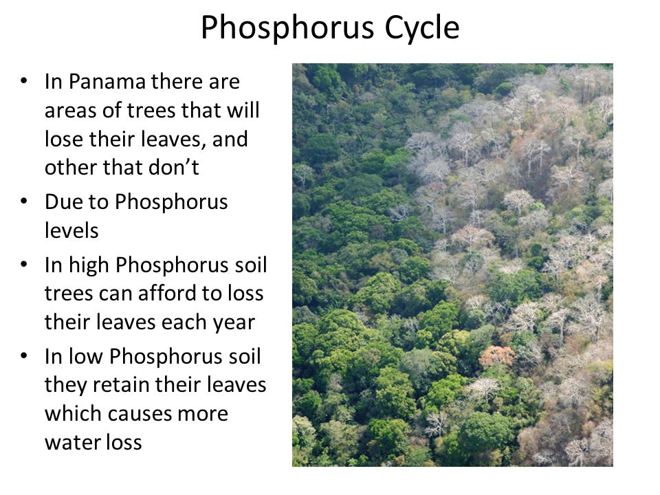 Phosphorus Cycle In Panama there are areas of trees that will lose their leaves, and other that don't Due to Phosphorus levels In high Phosphorus soil trees can afford to loss their leaves each year In low Phosphorus soil they retain their leaves which causes more water loss