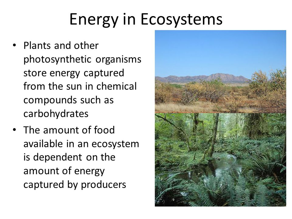 Energy in Ecosystems Plants and other photosynthetic organisms store energy captured from the sun in chemical compounds such as carbohydrates The amount of food available in an ecosystem is dependent on the amount of energy captured by producers