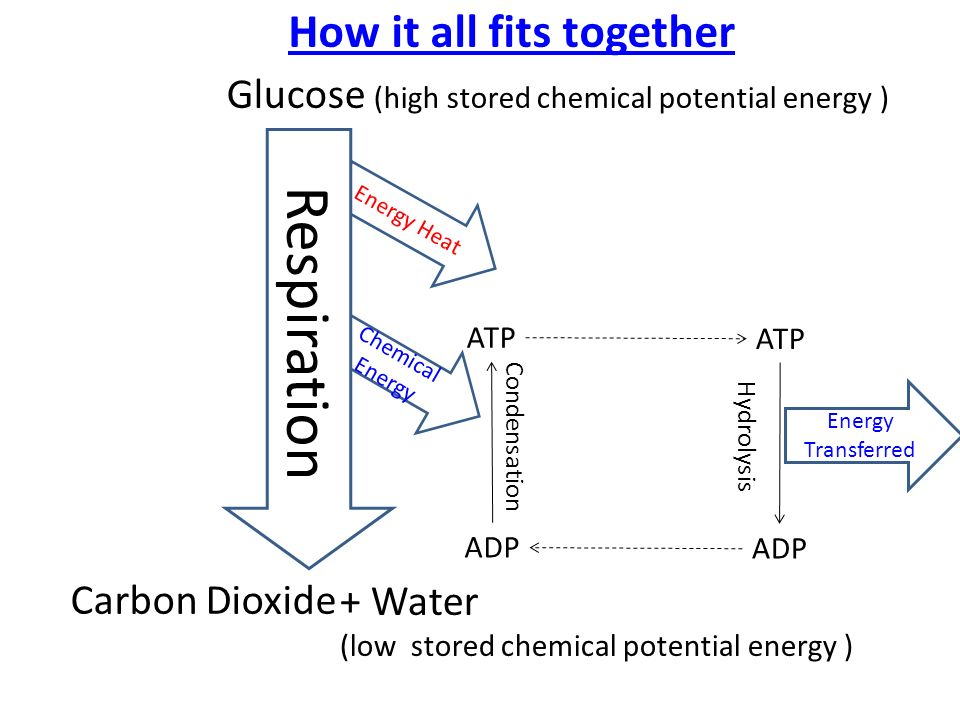 Glycolysis learning outcomes be able to state the 3 stages of 10 glucose high stored chemical potential ccuart Gallery