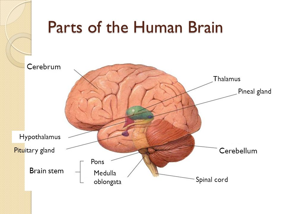 the function of the human brain