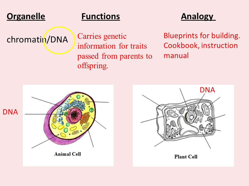 Cell structures functions essential question what are cells and 8 organellefunctionsanalogy malvernweather Gallery