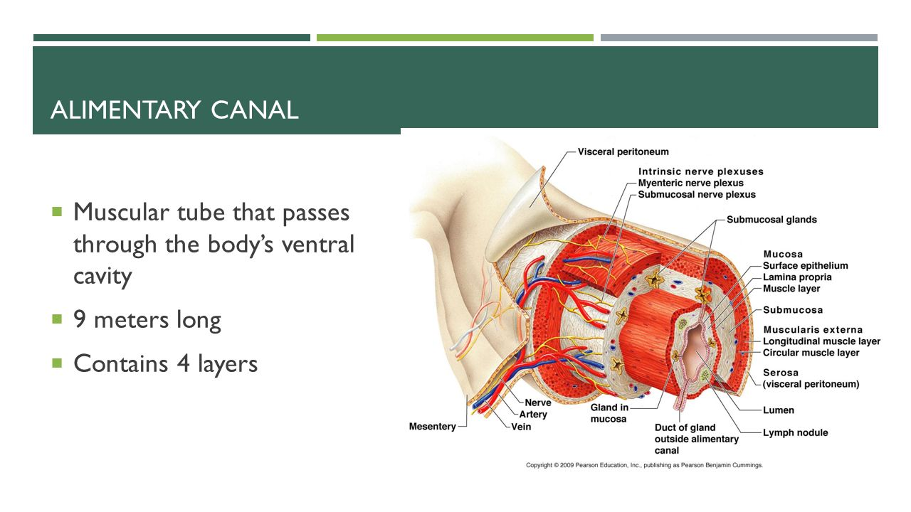 alimentary canal essay