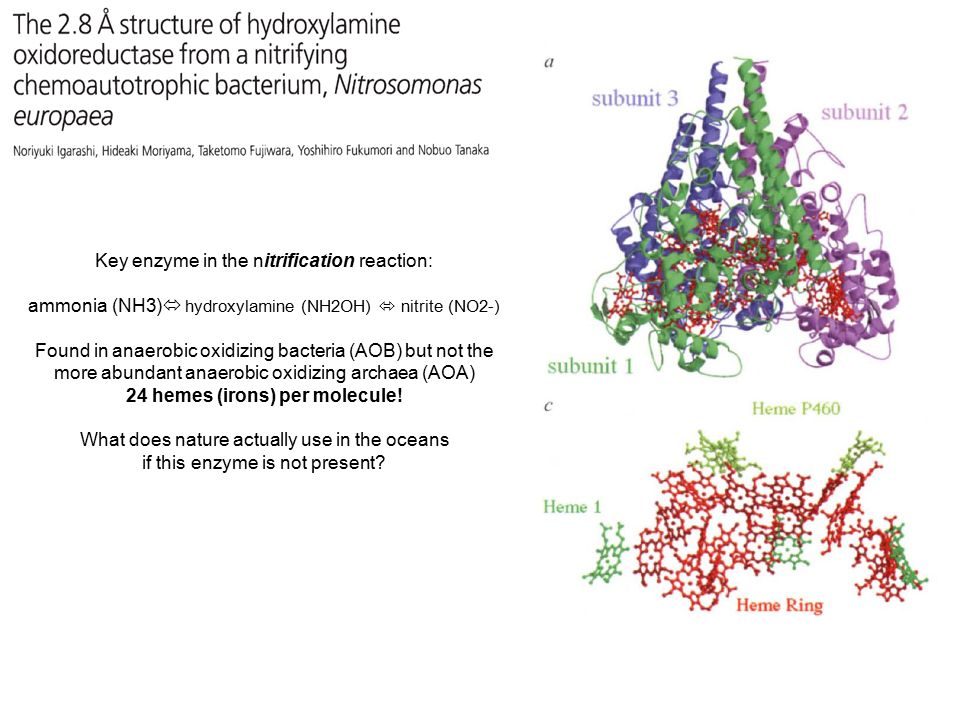 Key enzyme in the nitrification reaction: ammonia (NH3)  hydroxylamine (NH2OH)  nitrite (NO2-) Found in anaerobic oxidizing bacteria (AOB) but not the more abundant anaerobic oxidizing archaea (AOA) 24 hemes (irons) per molecule.