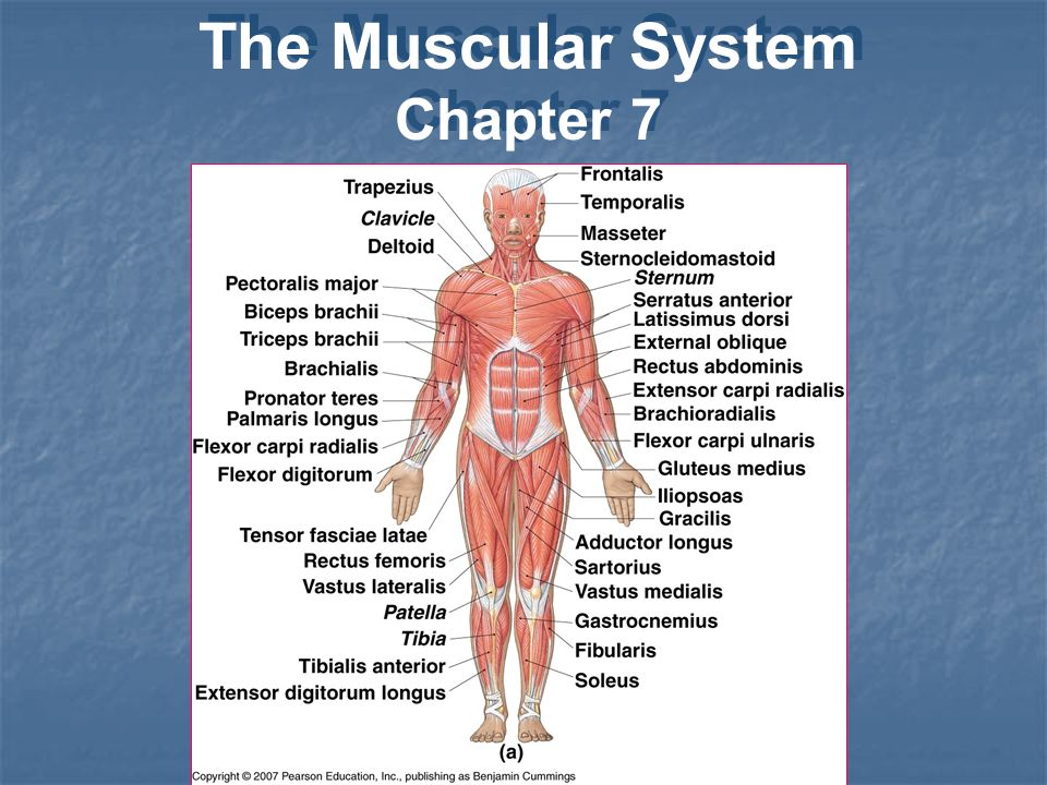 The Muscular System Chapter 7 The Muscular System Chapter Ppt Download