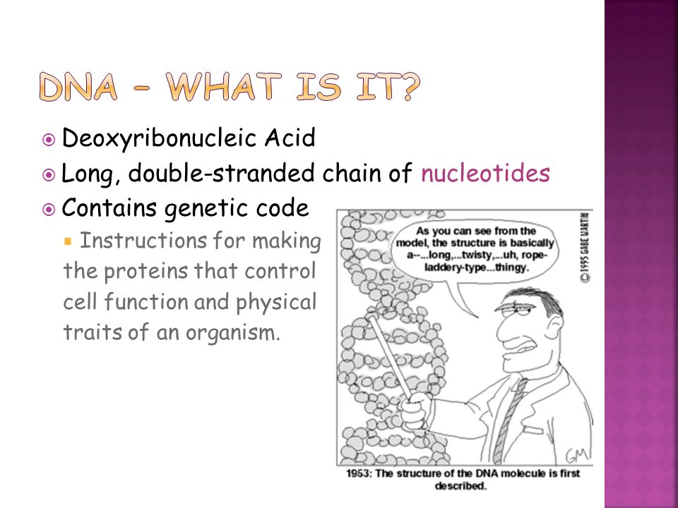 You are what you eat deoxyribonucleic acid long double 2 deoxyribonucleic acid long double stranded chain of nucleotides contains genetic code instructions for making the proteins that control cell sciox Image collections