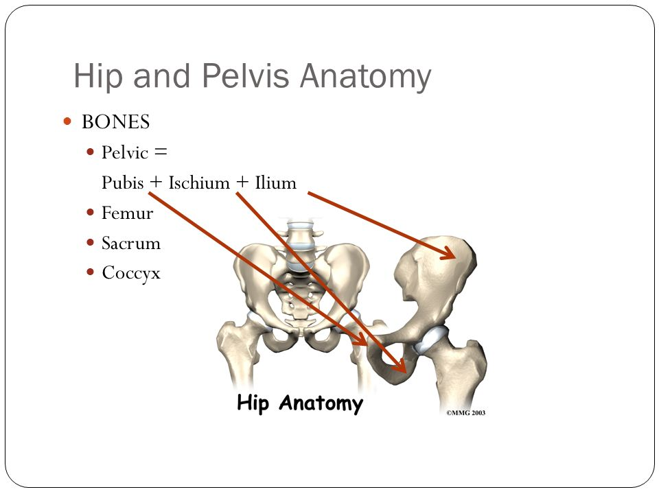 Anatomy of the hip and pelvis